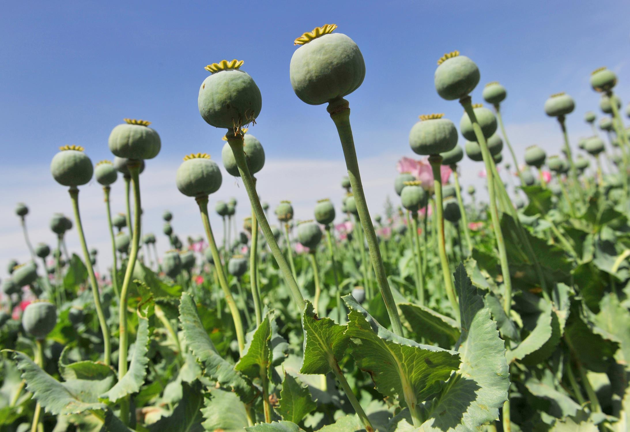 非法种植毒品原植物罪